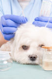 Tierarzt, der Akupunkturbehandlung tut Lizenzfreie Stockfotos