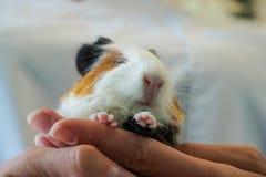 Tierarzt, der ein Baby Meerschweinchen hält lizenzfreie stockbilder