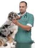 Tierarzt, der einen australischen Schäferhund überprüft Lizenzfreie Stockfotos
