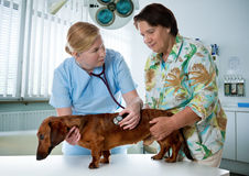 Tierarzt, der einen Hund überprüft Lizenzfreies Stockfoto
