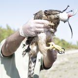 Tierarzt, der einen jungen Hühnerhabicht (Accipiter, zeigt gentilis) Lizenzfreies Stockfoto