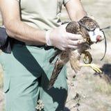 Tierarzt, der einen jungen Hühnerhabicht (Accipiter, zeigt gentilis) Lizenzfreie Stockfotos