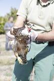 Tierarzt, der einen jungen Hühnerhabicht (Accipiter, zeigt gentilis) Lizenzfreie Stockfotografie