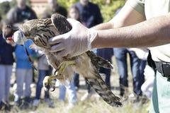 Tierarzt, der einen jungen Hühnerhabicht (Accipiter, zeigt gentilis) Stockbild