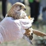 Tierarzt, der einen jungen Hühnerhabicht (Accipiter, zeigt gentilis) Lizenzfreies Stockbild