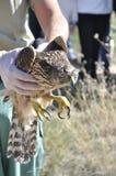 Tierarzt, der einen jungen Hühnerhabicht (Accipiter, zeigt gentilis) Lizenzfreie Stockbilder