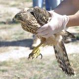 Tierarzt, der einen jungen Hühnerhabicht (Accipiter, zeigt gentilis) Stockfotografie