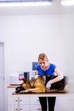 Tierarzt, der Schäferhundhund mit dem wunden Magen überprüft Stockbild
