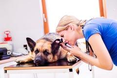 Tierarzt, der Schäferhundhund mit dem wunden Ohr überprüft Stockfotografie