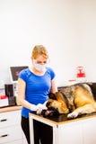 Tierarzt, der Schäferhundhund mit wundem Mund überprüft Lizenzfreies Stockbild