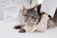 Tierarzt, der Verband an der grauen Katze tut Lizenzfreie Stockbilder
