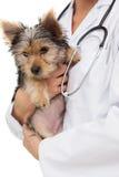 Tierarzt, der Yorkshire-Terrierwelpen hält Stockbild