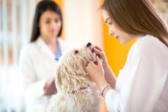 Tierarzt, der Zähne des maltesischen Hundes überprüft Stockfoto