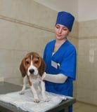 Tierarzt-Frau und Spürhundhund. Stockfotos