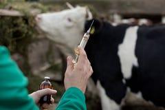 Tierarzt mit Spritze auf Bauernhof Stockbild