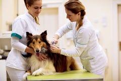 Tierarzt setzt Chip mit Hund-` s Informationen zu seinem Hals stockfoto