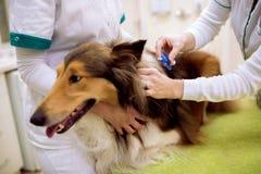 Tierarzt setzt Chip mit Hund-` s Informationen zu seinem Hals stockfotos