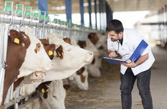 Tierarzt und Kühe Stockfoto