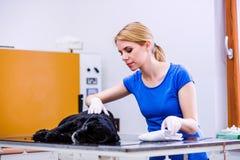 Tierarzt an Untersuchungshund der veteringary Klinik mit dem wunden Ohr Lizenzfreie Stockfotos