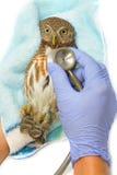 Tierarztholding und Überprüfung Asiat abgehaltene junge Eule Stockbilder