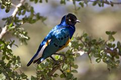 Tiere 027 glattes Starling Lizenzfreie Stockfotos