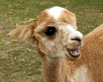 Tiere - Alpaka Lizenzfreies Stockbild