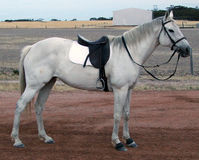 Tiere - angeheftetes Pferd Stockfotos