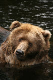 Tiere: Bär, der Sie betrachtet lizenzfreies stockbild