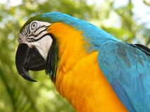 Tiere: Blauund GoldMacaw Stockbild