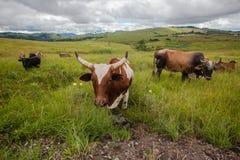 Tiere Bull schüchtert Hupen ein Lizenzfreie Stockbilder