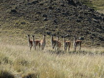 Tiere der Pampa Stockfotos