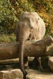 Tiere: Elefant hinter Baum stockbilder