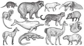 Tiere großen Satzes Südamerikas Stockbild