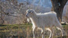 Tiere im Zoo, Ziegen lizenzfreies stockbild