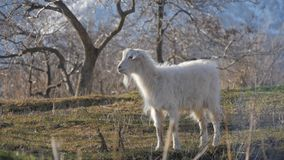 Tiere im Zoo, Ziegen lizenzfreie stockfotos