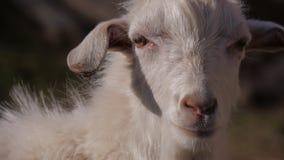 Tiere im Zoo, Ziegen stockfotografie