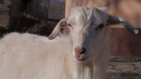 Tiere im Zoo, Ziegen lizenzfreies stockfoto