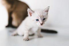 Tiere, Katzen, Haustiere, inländisches, weißes Kätzchen Stockfotografie