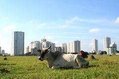 Tiere, Kuhrest Lizenzfreie Stockfotos