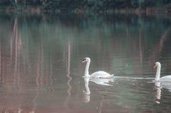 Tiere mit weißen Federn lizenzfreie stockfotos