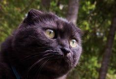 Tiere: Nette Munchkin-Katze, die Aufmerksamkeit zahlt stockfotografie