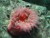Tiere: Rosafarbene Anemone Lizenzfreie Stockbilder