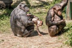 Tiere zwei Frauen und ein Babyschimpanse Lizenzfreies Stockbild