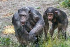 Tiere zwei Frauen und ein Babyschimpanse Stockbilder