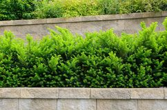 Tiered Retaining Wall with Yew Shrubs Royalty Free Stock Photo
