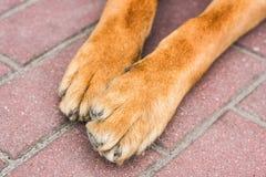 Tierhundetatzen schließen oben auf Pflasterung des roten Backsteins Stockfotos