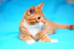 Tierische rote kleine Katzenhaustiermiezekatze auf Bett zu Hause Stockbilder