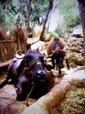 Tierischer fantastischer Büffel natürlich Stockfotos