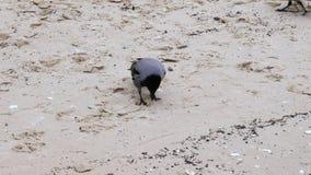 Tierkonzept Krähe, die Schnecke auf dem Strand durch das Meer isst stock video