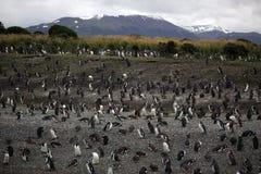 tierra пингвина колонии del fuego magellanic Стоковое Фото